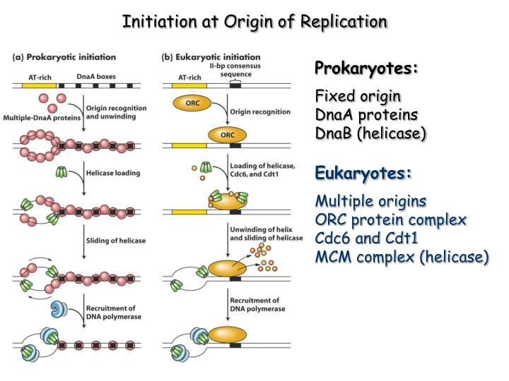 Initiation at Origin of Replication