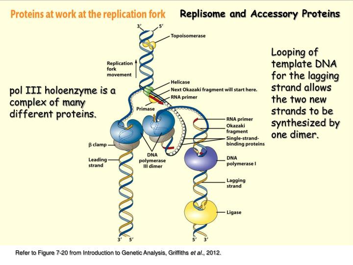 Replisome and Accessory Proteins