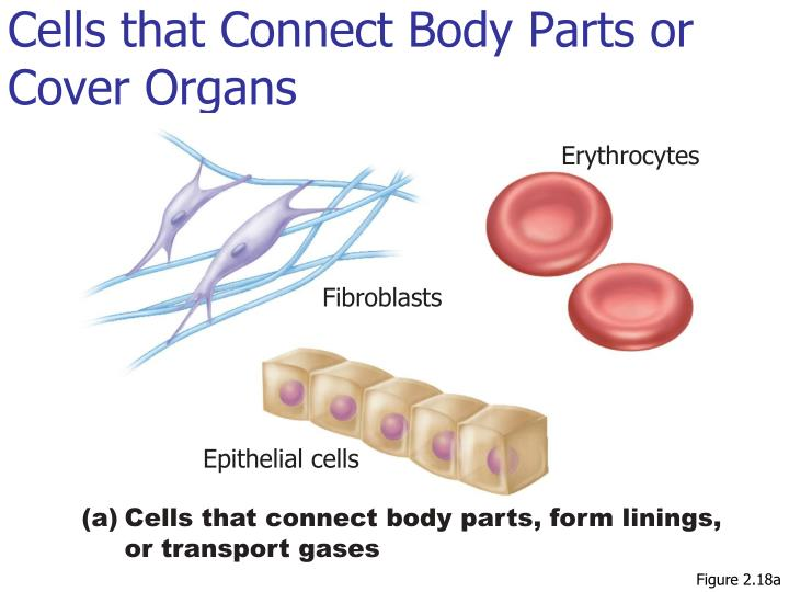 Cells that Connect Body Parts or Cover Organs