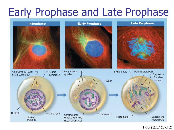 Early Prophase and Late Prophase