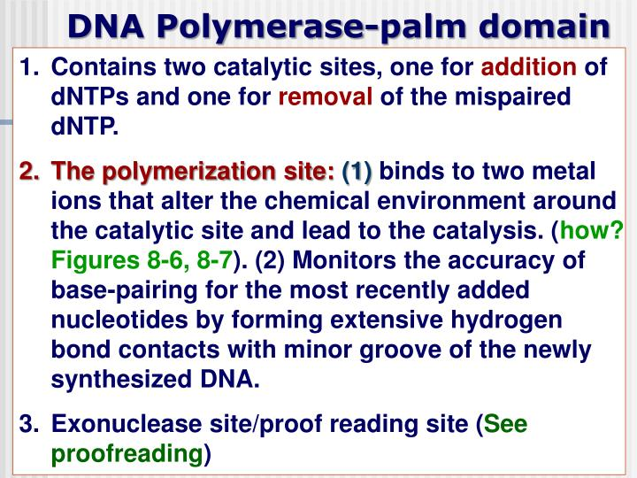 DNA Polymerase-palm domain