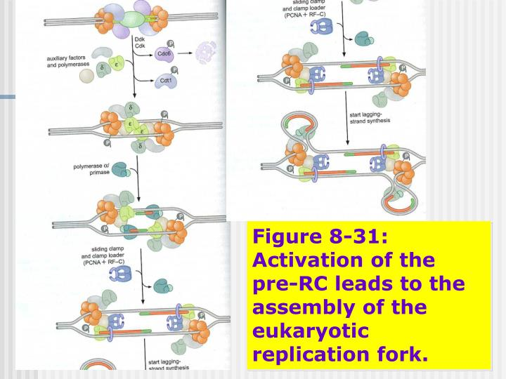 Figure 8-31: Activation of the pre-RC leads to the assembly of the eukaryotic replication fork.