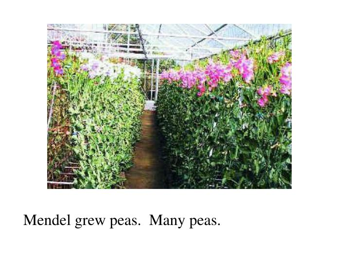 Mendel grew peas.  Many peas.