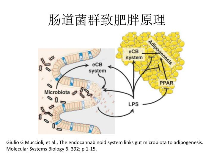 肠道菌群致肥胖原理
