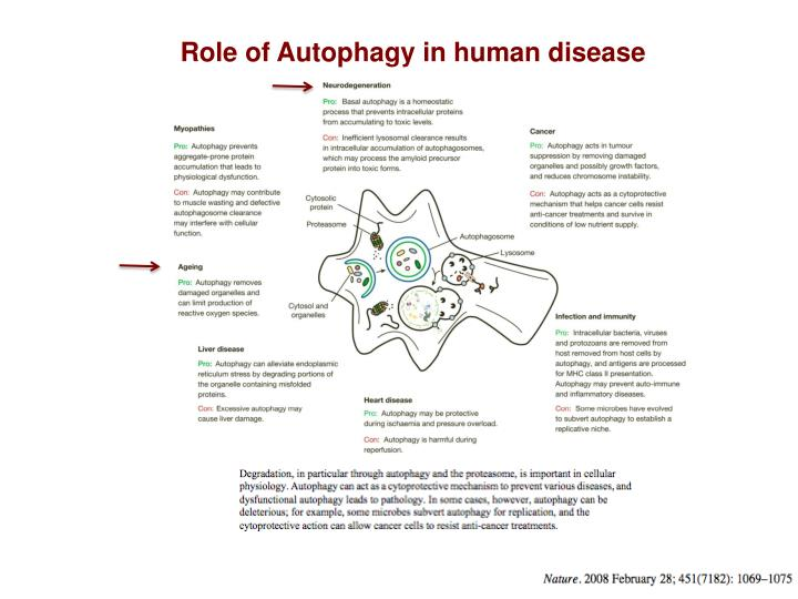 Role of Autophagy in human disease