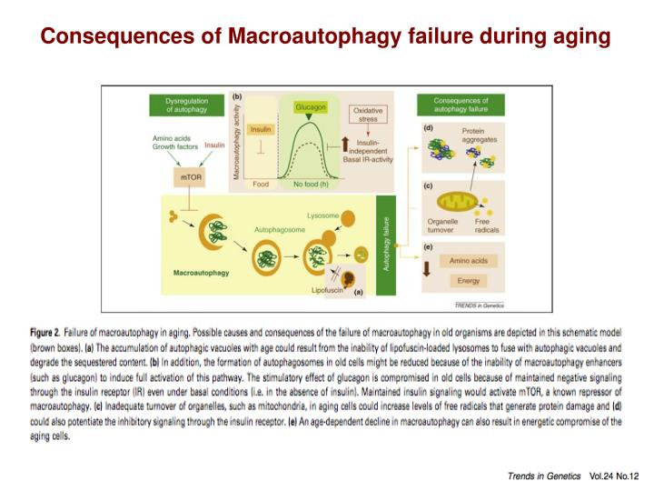 Consequences of Macroautophagy failure during aging