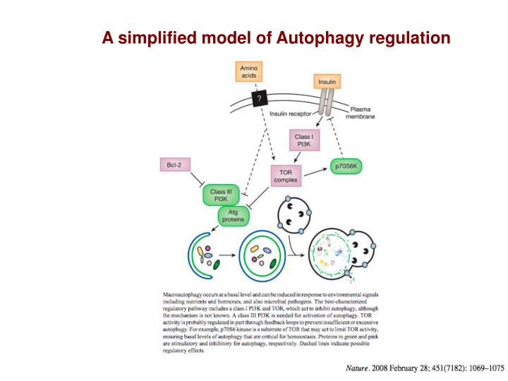 A simplified model of Autophagy regulation