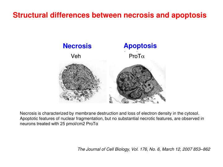 Structural differences between necrosis and apoptosis
