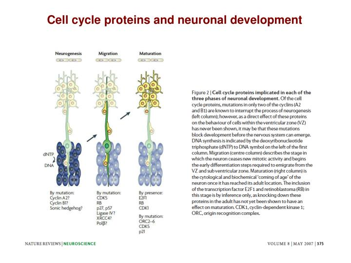 Cell cycle proteins and neuronal development
