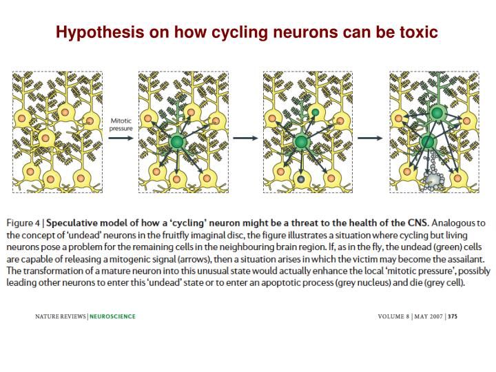 Hypothesis on how cycling neurons can be toxic