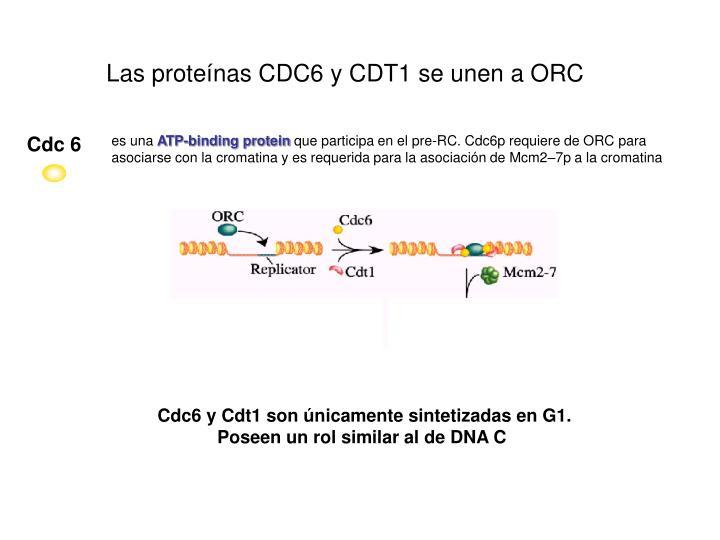 Las proteínas CDC6 y CDT1 se unen a ORC