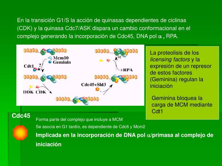 En la transición G1/S la acción de quinasas dependientes de ciclinas (CDK) y la quinasa Cdc7/ASK dispara un cambio conformacional en el complejo generando la incorporación de Cdc45, DNA pol