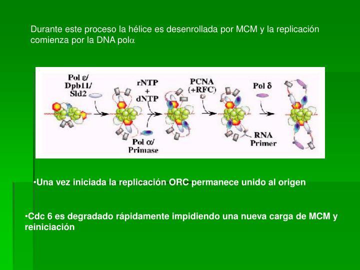 Durante este proceso la hélice es desenrollada por MCM y la replicación comienza por la DNA pol