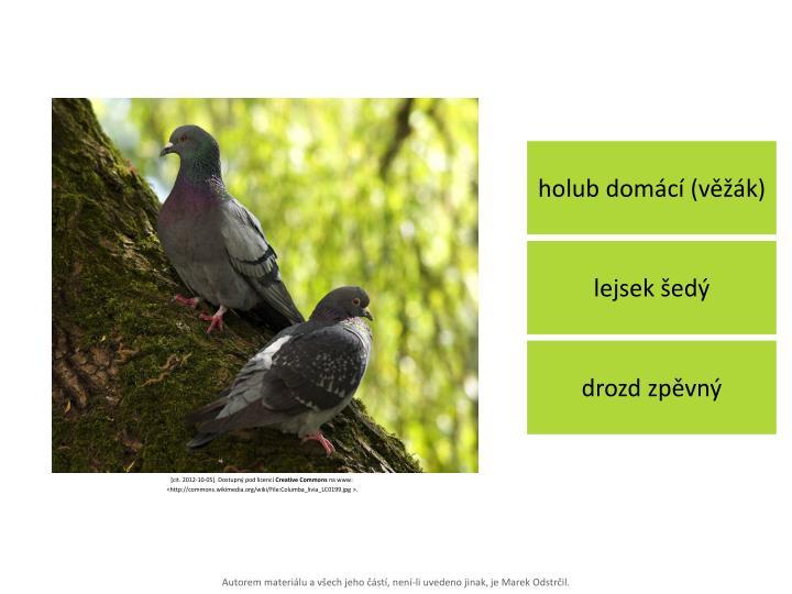 holub domácí (věžák)