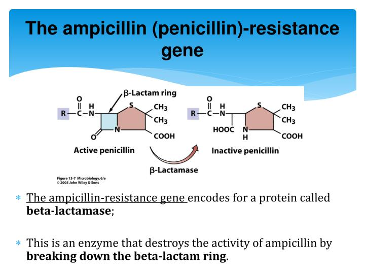 The ampicillin (penicillin)-resistance gene