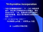 3 h thymidine incorporation