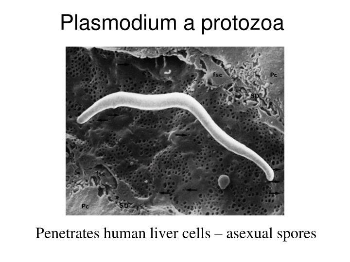 Plasmodium a protozoa
