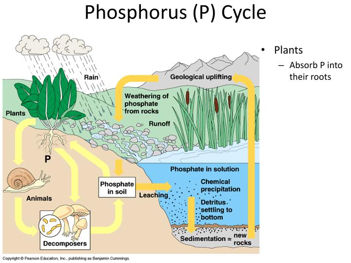 Phosphorus (P) Cycle