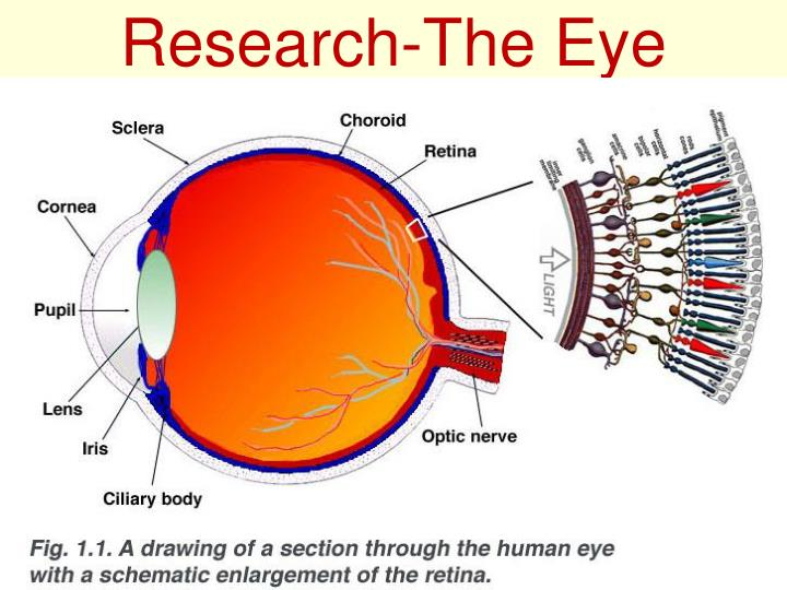 Research-The Eye