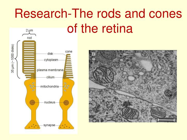 Research-The rods and cones