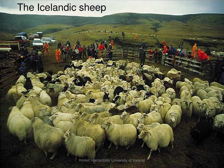 The Icelandic sheep