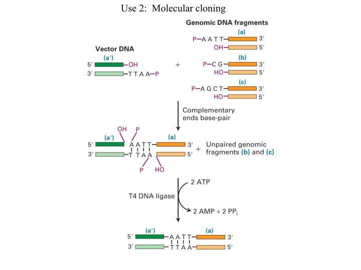 Use 2:  Molecular cloning