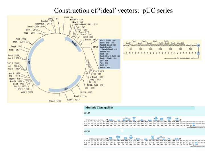 Construction of 'ideal' vectors:  pUC series