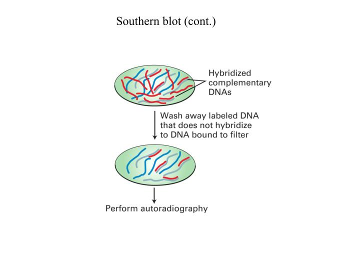 Southern blot (cont.)