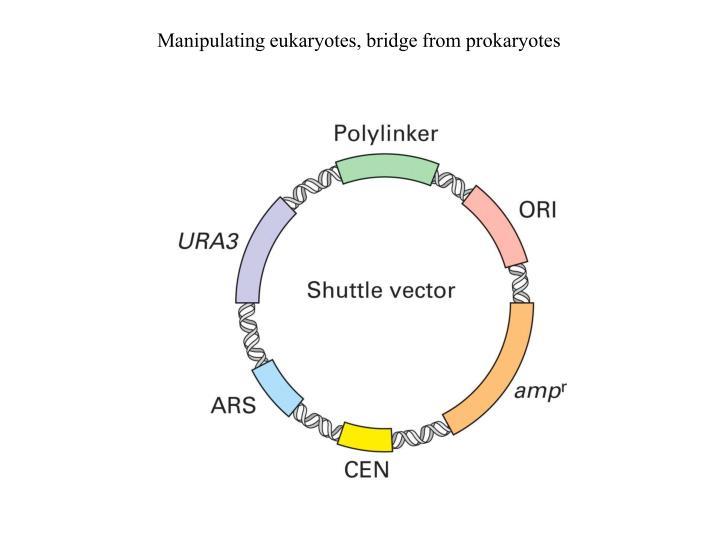 Manipulating eukaryotes, bridge from prokaryotes