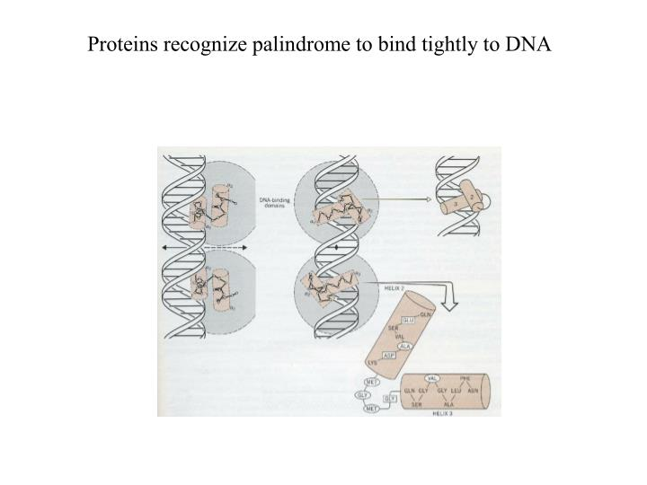 Proteins recognize palindrome to bind tightly to DNA