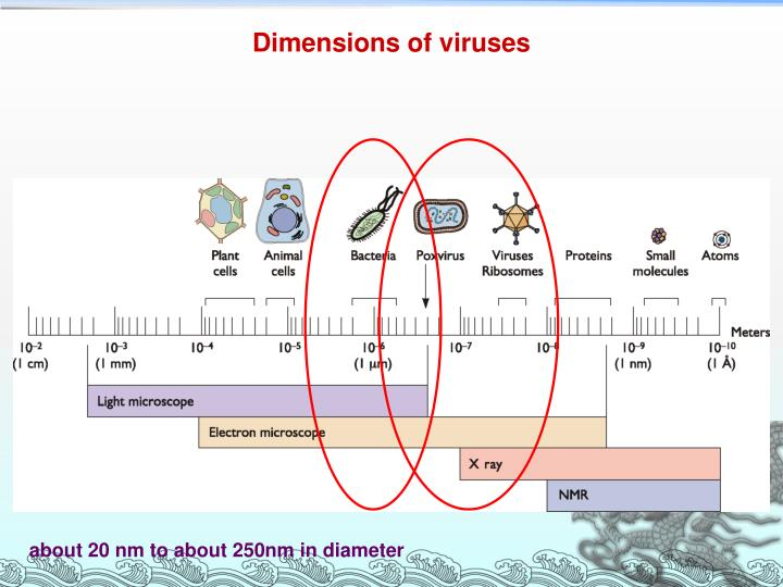 Dimensions of viruses