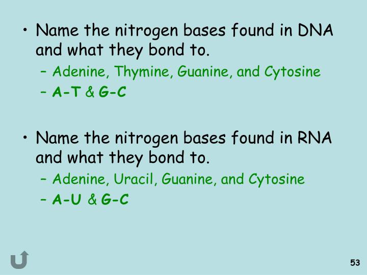 Name the nitrogen bases found in DNA and what they bond to.