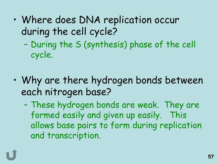 Where does DNA replication occur during the cell cycle?