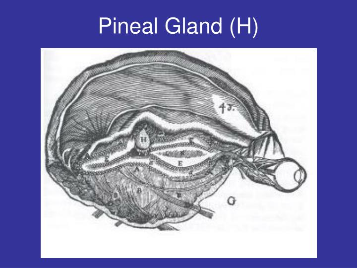Pineal Gland (H)
