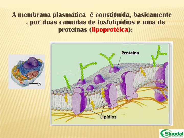 A membrana plasmática  é constituída, basicamente , por duas camadas de fosfolipídios e uma de proteínas (
