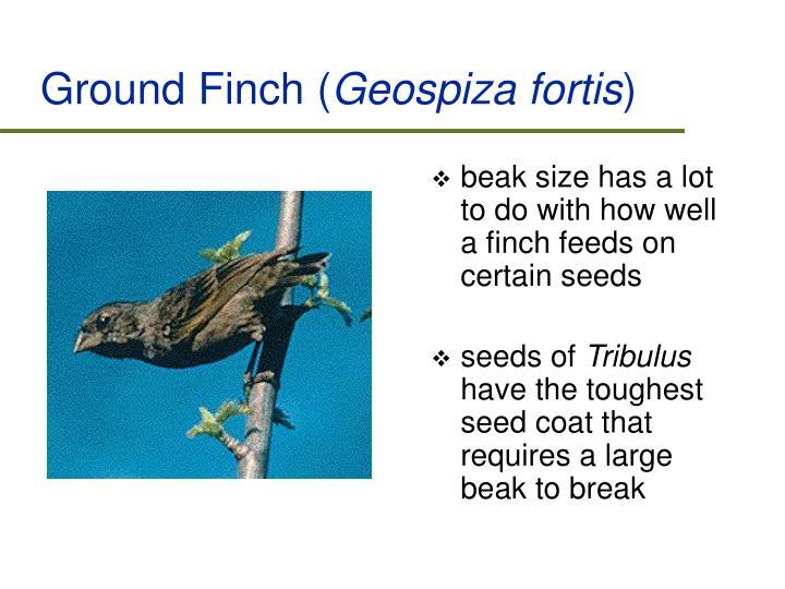 Ground Finch (