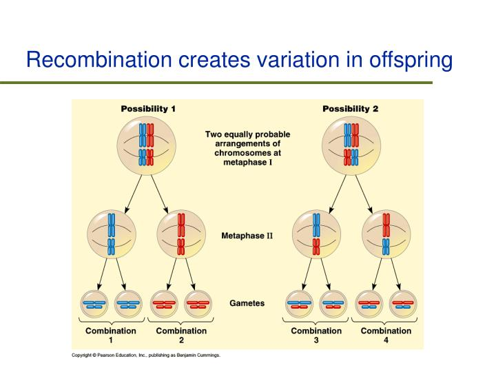 Recombination creates variation in offspring