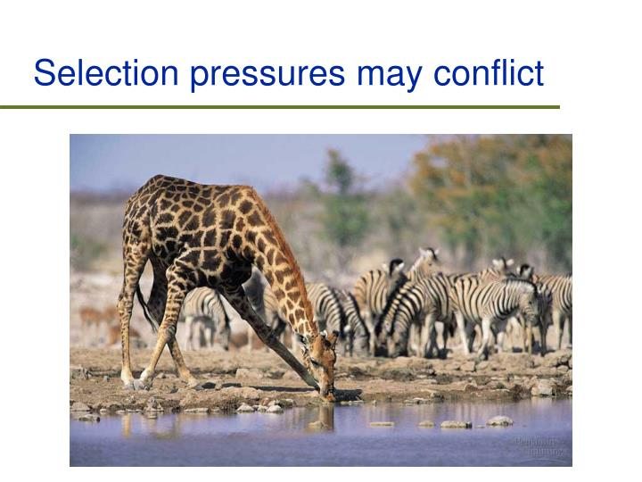 Selection pressures may conflict