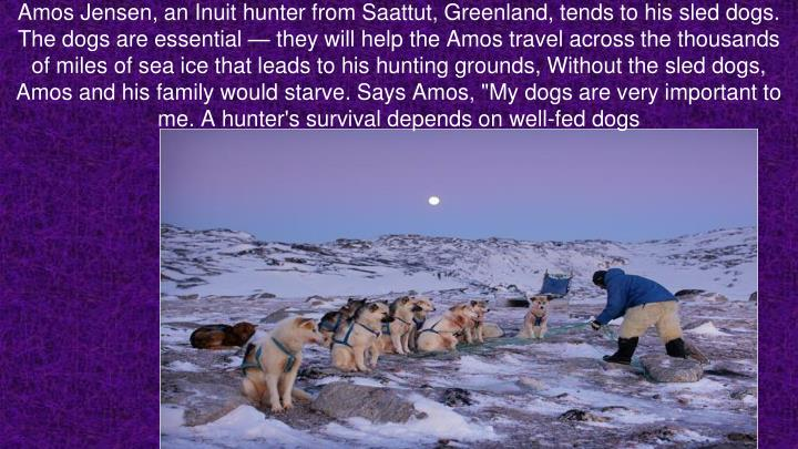"Amos Jensen, an Inuit hunter from Saattut, Greenland, tends to his sled dogs. The dogs are essential — they will help the Amos travel across the thousands of miles of sea ice that leads to his hunting grounds, Without the sled dogs, Amos and his family would starve. Says Amos, ""My dogs are very important to me. A hunter's survival depends on well-fed dogs"
