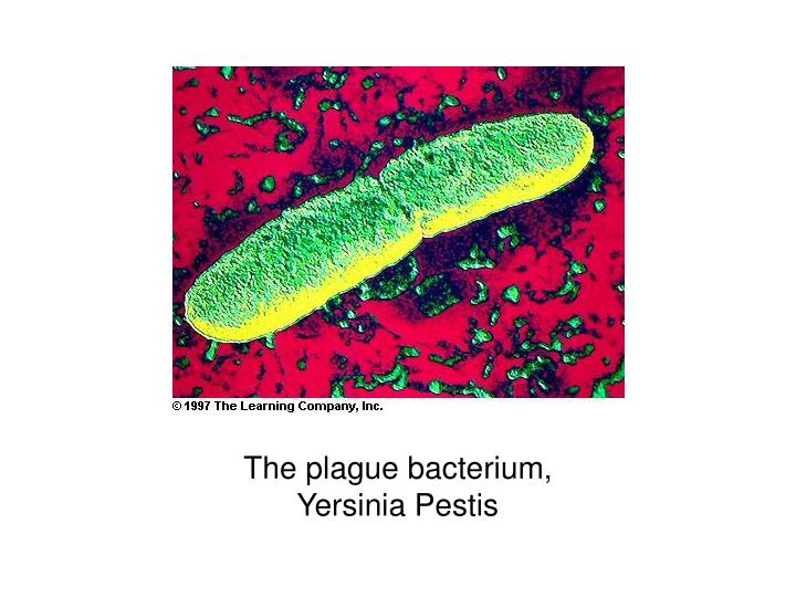 The plague bacterium, Yersinia Pestis