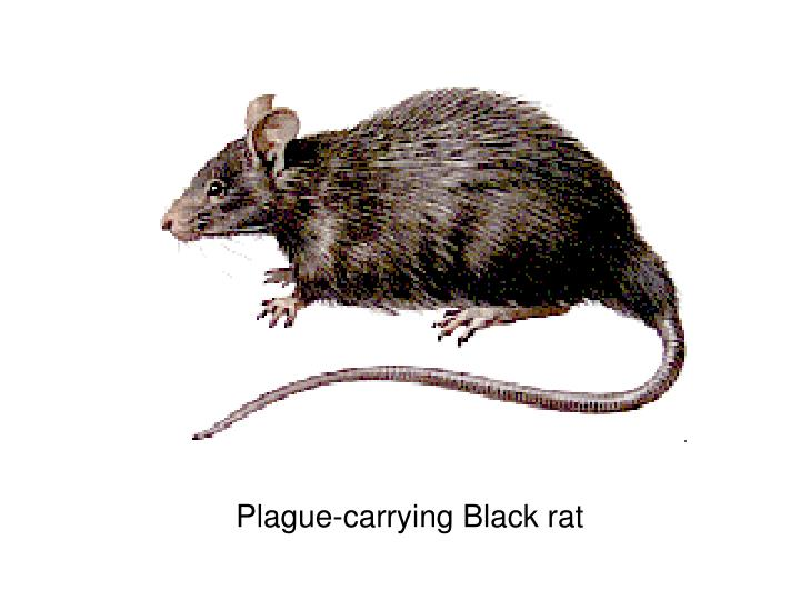Plague-carrying Black rat