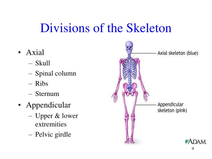 Divisions of the Skeleton