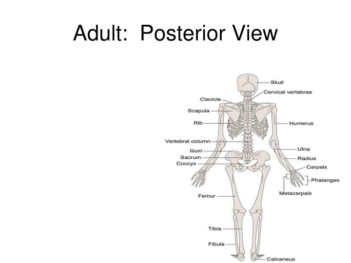 Adult:  Posterior View