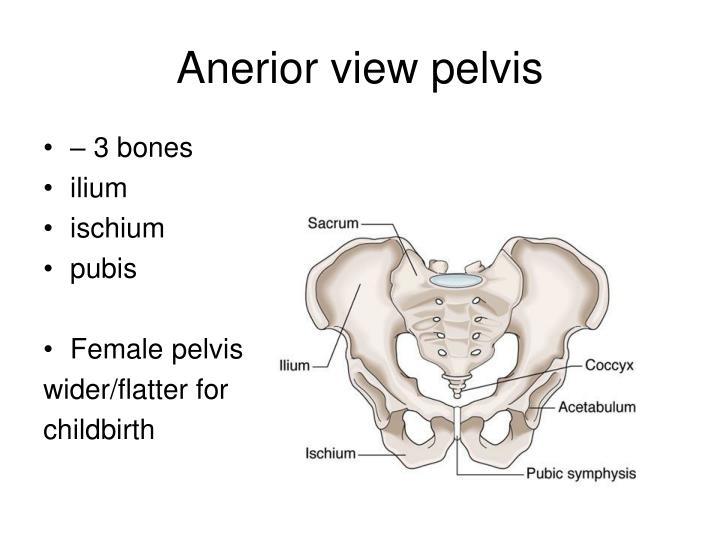 Anerior view pelvis