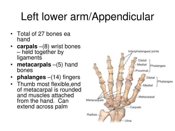 Left lower arm/Appendicular