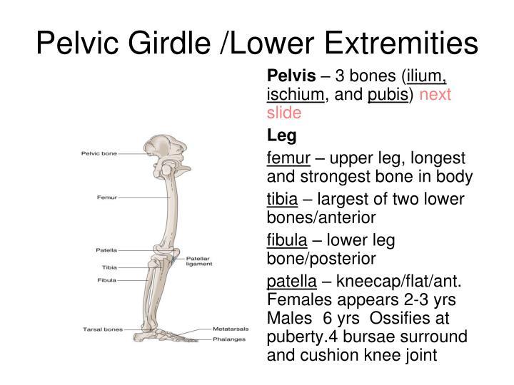 Pelvic Girdle /Lower Extremities