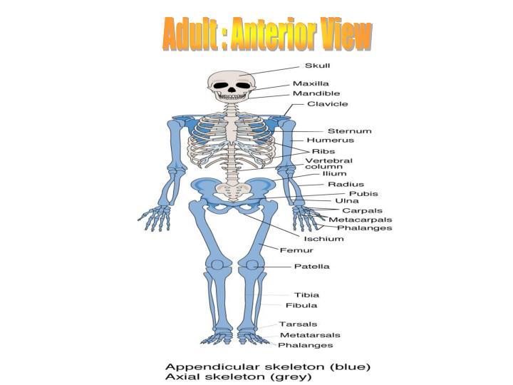 Adult : Anterior View