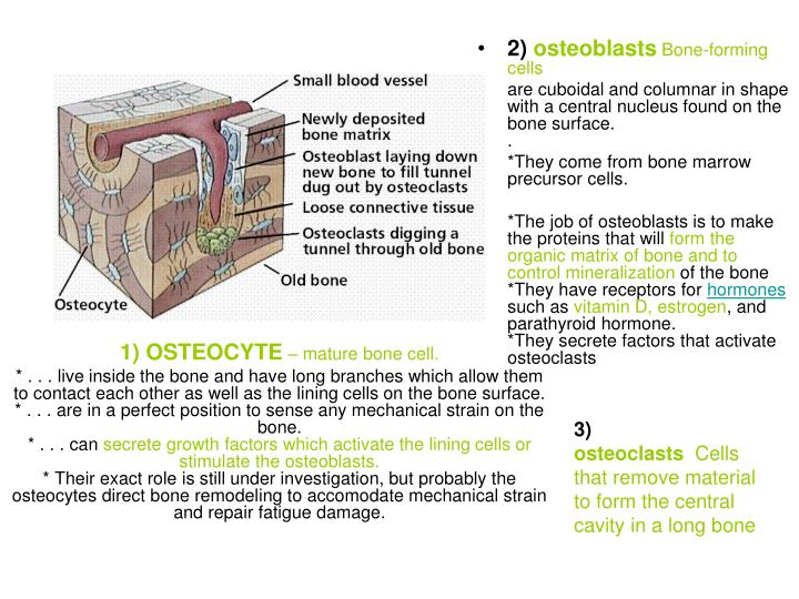 1) OSTEOCYTE