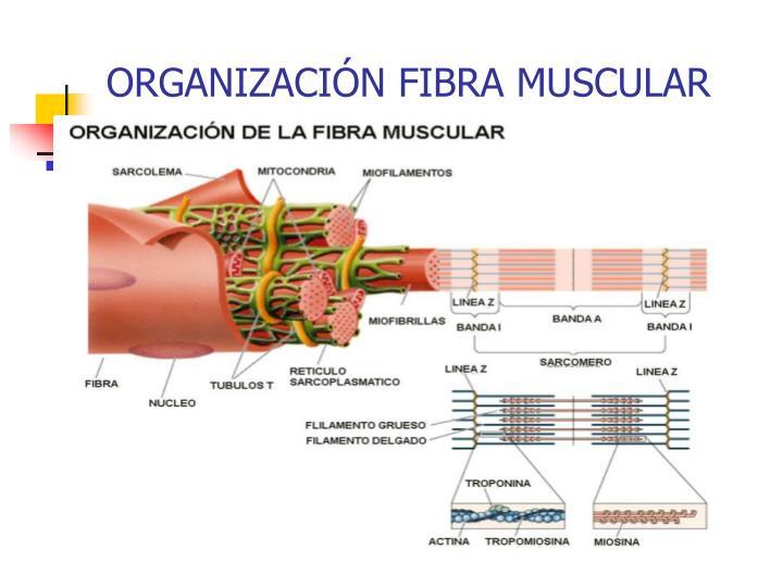 ORGANIZACIÓN FIBRA MUSCULAR