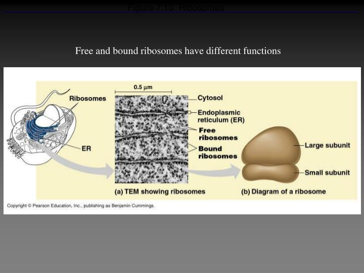 Figure 7.10  Ribosomes